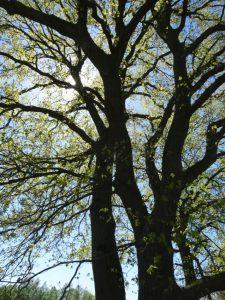 tweebomen
